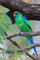 Lakes;adorable;animal;australia;australian;barnardius;beak;bird;bird_life;blue;c