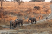 Senka;adult;africa;african;africana;animal;antelope;attraction;big;dangerous;ear