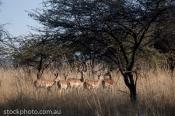 Senka;africa;african;animal;animals;antelope;beautiful;brown;bush;close;cloud;co